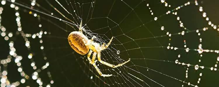 Spider Control Lyneham